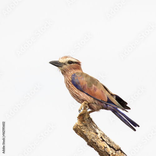 Rufous-crowned Roller bird