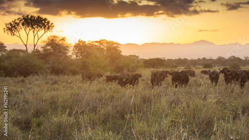 Fotobehang Overige African buffalo at sunset in savannah