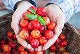 Organic Brazilian Acerola Cherry in farmer hands..