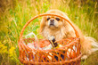 A dog is a human best friend. Pekingese light red color resting in the field on a picnic likes sweets in the grass and flowers enjoying of rays of the warm sun
