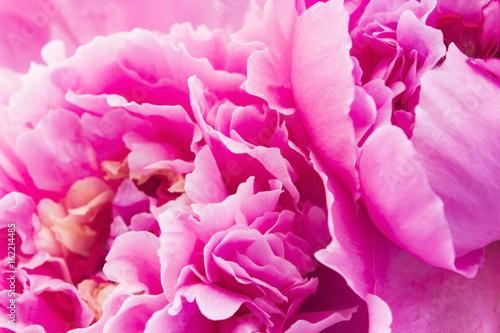 Fototapeta Pink Peony Close Up