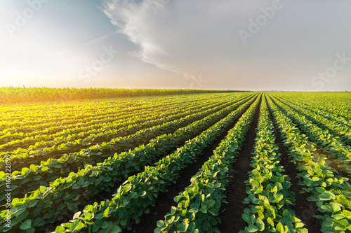 Agricultural soy plantation on sunny day - Green growing soybeans plant
