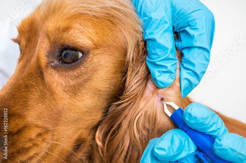 Veterinarian removing a tick from the Cocker Spaniel dog Poster