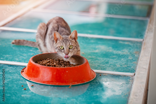 portrait of hungry domestic cat eating dry food from bowl