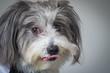 Fluffy dog licking lips