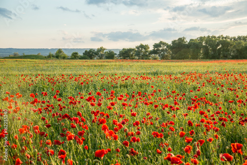 Fototapeta Field of fresh poppies at sunset in the South
