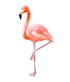 Pink flamingo, isolated on white background, watercolor illustration
