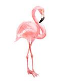 Flamingo, isolated on white background, watercolor illustration