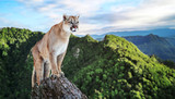 Cougar in the mountains, mountain lion, puma