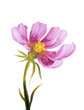 Pink cosmos flower. Oil painting on Canvas. Isolated on white background - 162266234