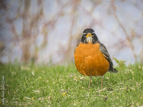 American Robin bird
