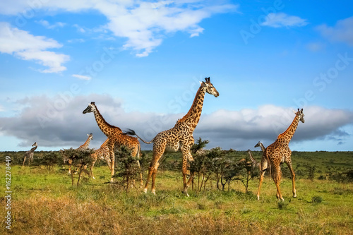 Poster A herd of giraffes in the African savannah