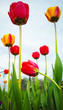 Colorful tulips over blue sky background