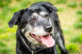 Portrait of a happy old dog at the dog park.