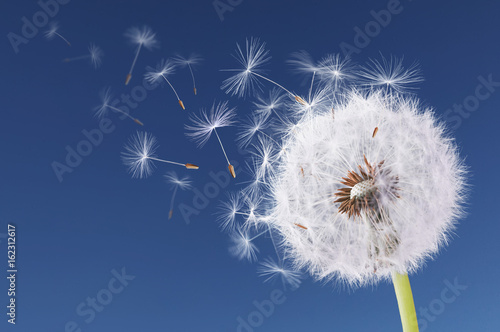 Dandelion flying on blue background