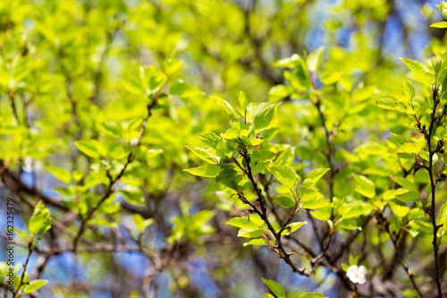 Small green leaves on a tree in spring