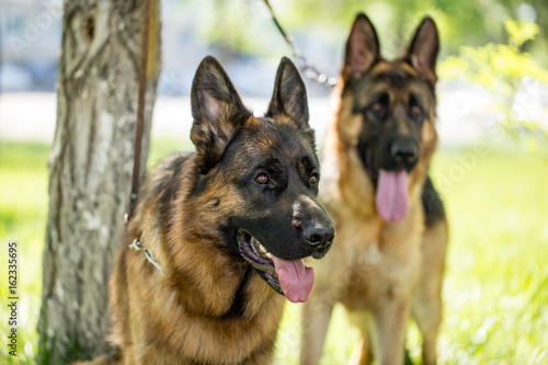 Two dogs of a sheepdog on the nature Poster