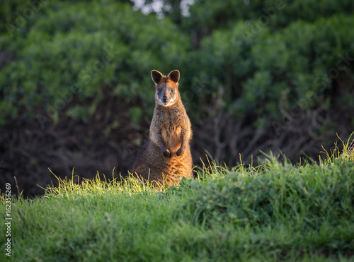 Foto Murales Wallaby lighten up by a ray of sun in the grass Phillip Island in Australia