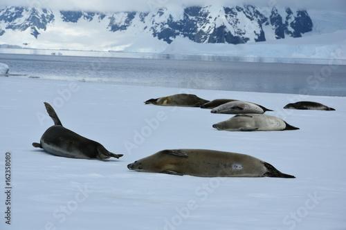 Crabeater seals on the fast ice near Wilhemina Bay, Antarctica
