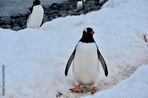 Papiers peints Antarctique Gentoo Penguins on Cuverville Island, Antarctica
