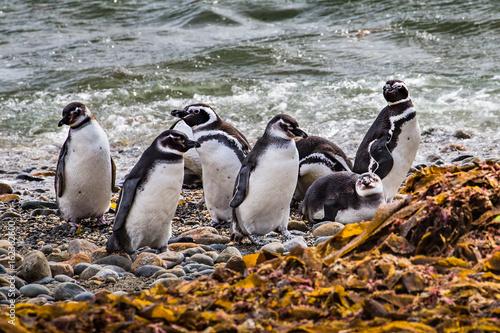 Colony of magellanic penguins on Magdalena island, of Magellan, Chile (Spheniscus demersus)