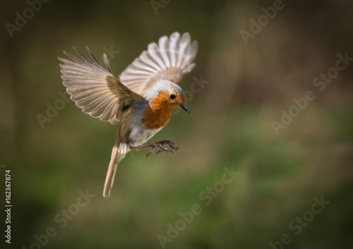 European Robin hovering with his wings out