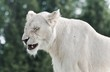 Isolated photo of a scary white lion screaming