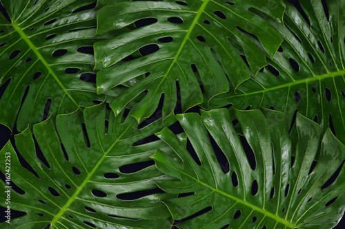 Green leaf Monsteras on black background for background, Tropical plant.