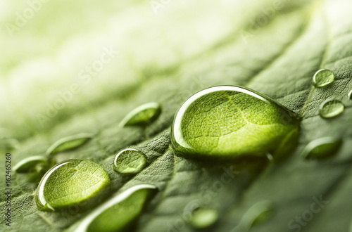Large beautiful drops of transparent rain water on a green leaf macro. Drops of dew in the morning glow in the sun. Beautiful leaf texture in nature. Natural background.