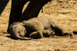 Nap Time for this Baby Elephant - 162486208