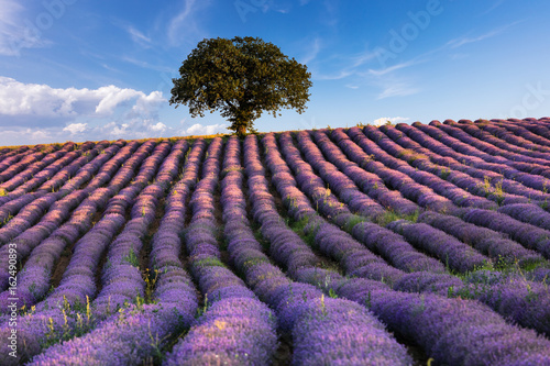 Amazing lavender field with a tree