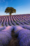 Amazing lavender field with a tree - 162491007