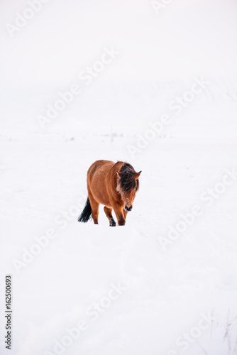 Adorable Icelandic furry horses (ponies) roaming in the winter morning field, dusted with snow - 162500693