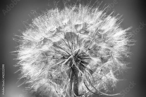 Large dandelion © natalylad