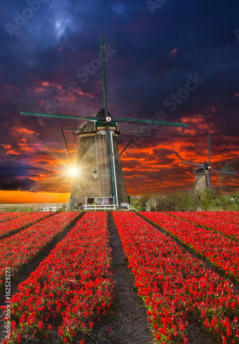 Blossoming tulip fields in a dutch landscape.