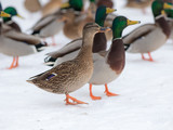 ducks on snow - 162530271