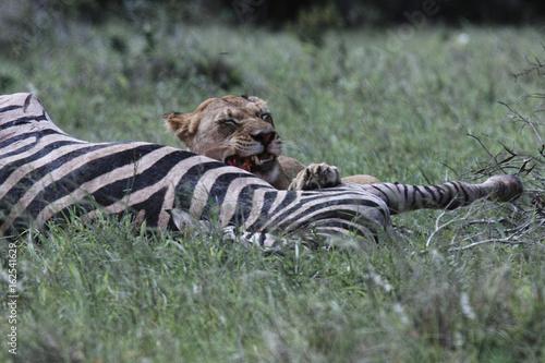 Löwe reisst Zebra