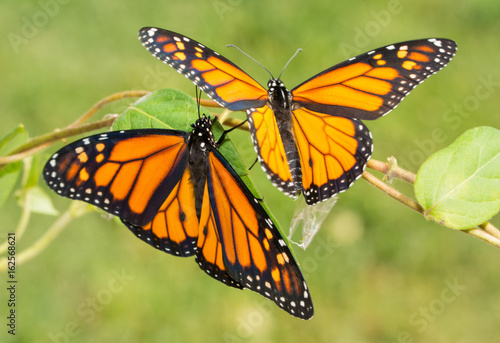 Two newly emerged Monarch butterflies getting ready to fly off for the first tim Poster