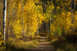 Trail Through Aspens, Steamboat Springs