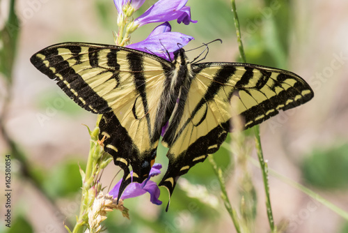 Fototapeta Western tiger swallowtail butterfly on penstamen flowers in Sandia Mountains, central new mexico