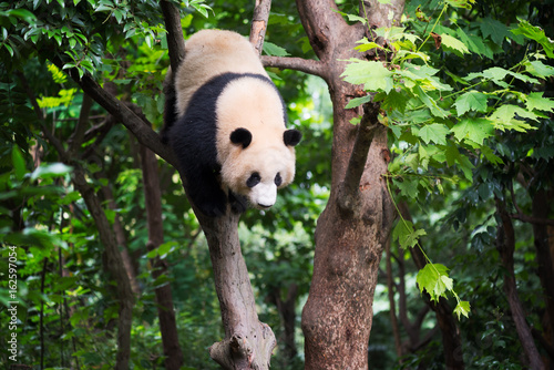 Giant panda in a tree