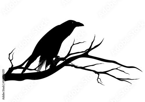 czarny-kruk