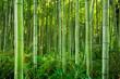 Bamboo forest of Arashiyama near Kyoto, Japan