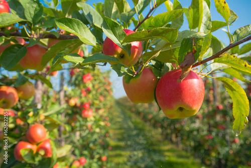 Foto Murales apple orchard before harvesting