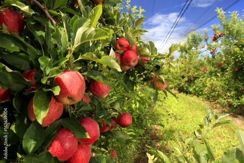 Foto Murales Colheita de maçã