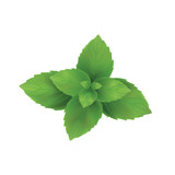 Mint vector illustration. Mint leaves green. - 162641053