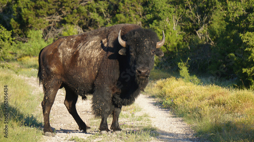 Standing Bison