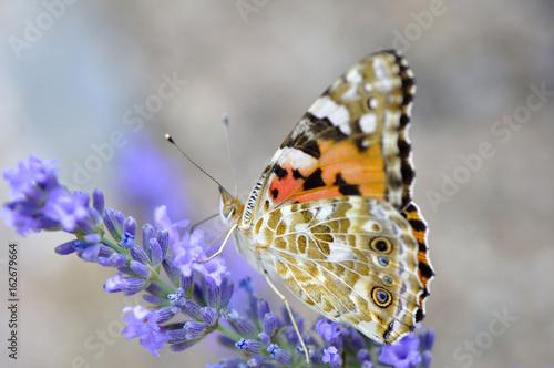 Spoed canvasdoek 2cm dik Lavendel Papillon sur lavande