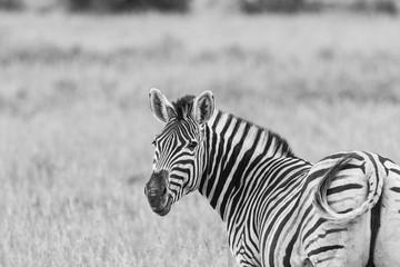 Zebra looking left