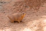 Prairie dog walking on brown earth ground